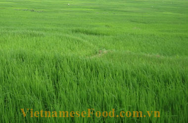 Green Stick Rice (Cốm)